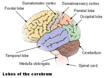 The cerebellum is largely responsible for coor...