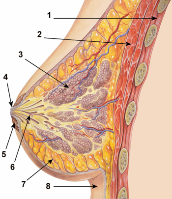 English: Breast normal anatomy cross-section w...