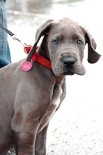 A blue Great Dane puppy.