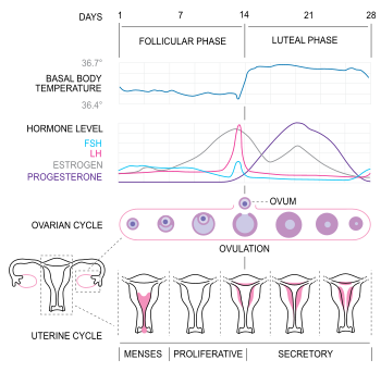 English: Diagram of the menstrual cycle (based...