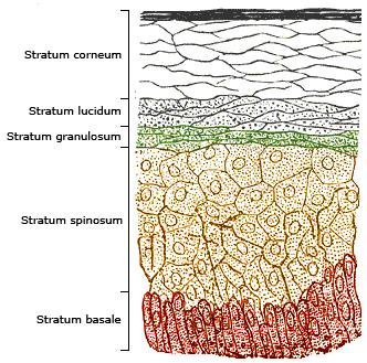 The layers of the epidermis (left). Melanocyte...